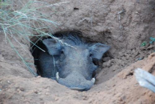Sleepy warthog by Benjamine Bronee
