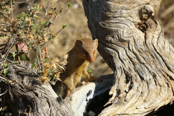 Slender tailed mongoose by Mally Cox