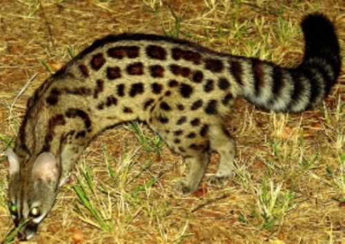 Small spotted genet by Danny Shaw