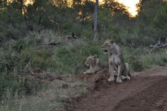 Some of the pride of 7 on Hyena drive by Francois Barnard