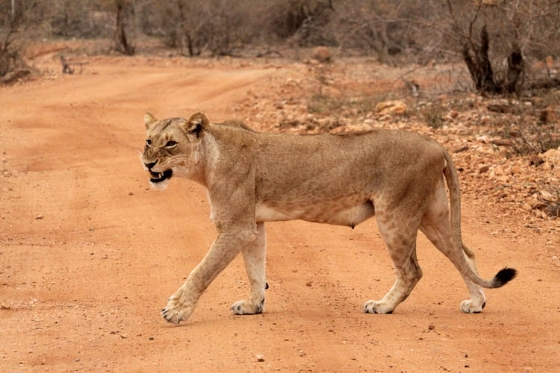 South lioness by Graham B2