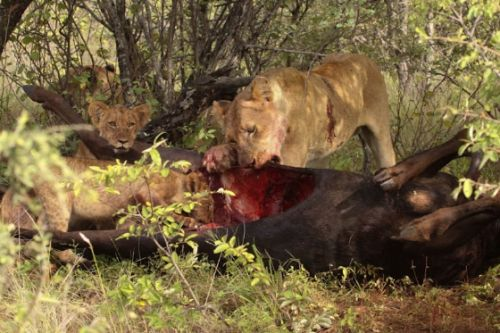 South pride on kill by Graham Benfield