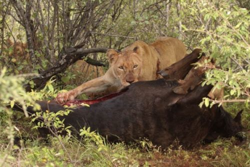 South pride on wildebeest kill by Graham Benfield