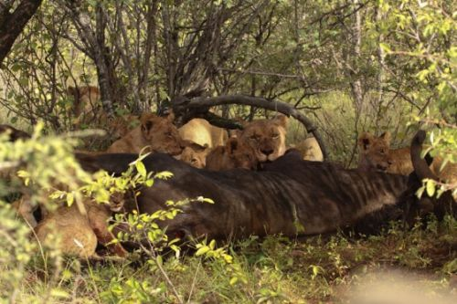 South pride with Wildebeest kill by Graham Benfield