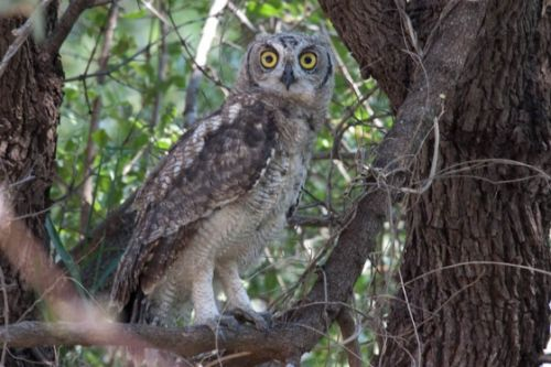 Spotted Eagle Owl by Alec Ryall