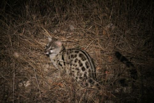 Spotted Genet by Simon Leppard