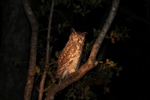 Spotted eagle owl on Rocky Horror by Simon Leppard