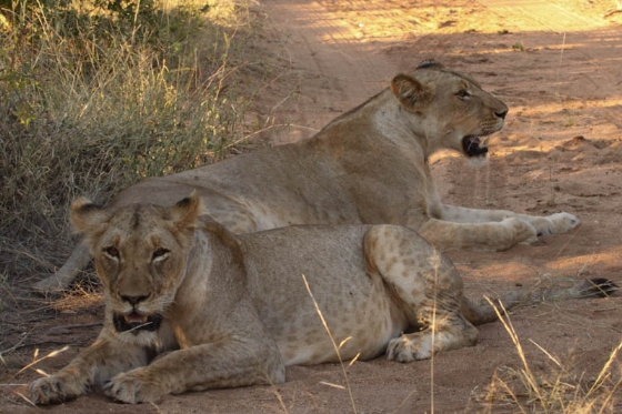 Spotted lioness on Porcupine Ridge by Graham Benfield