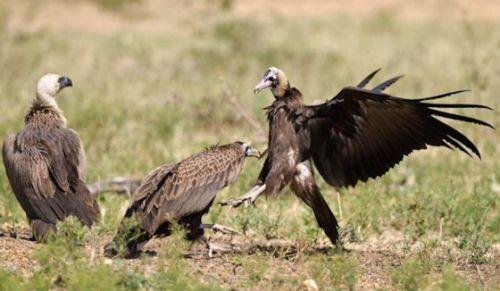 Squabbling vultures by Manuel Lopes