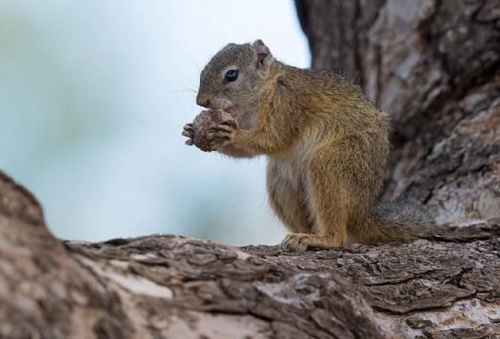 Squirrel by Uli A9