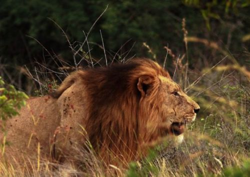 Stalking lion by Danny Shaw
