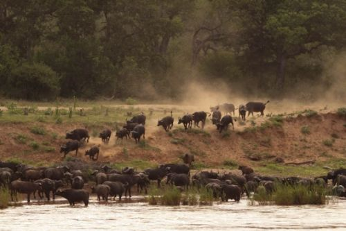Stampeding herd of buffalo about to cross river by Graham Benfield