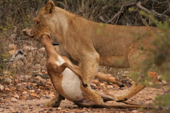 Stealing a leopard kill by Graham B2