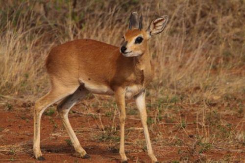 Steenbok by Graham Benfield