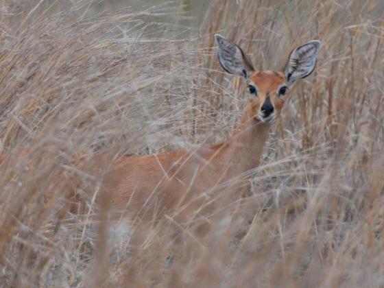 Steenbok by Mike Parfitt
