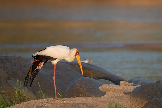 Stork in the Olifants River - Johann Grobbelaar B38