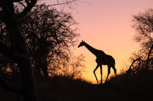 Sunset giraffe by Kate B8