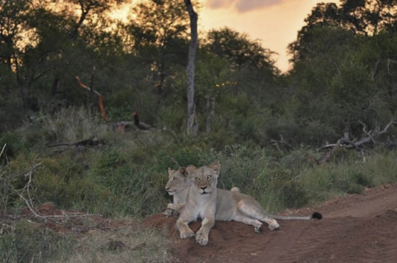 Sunset with the pride on Hyena drive by Francois Barnard