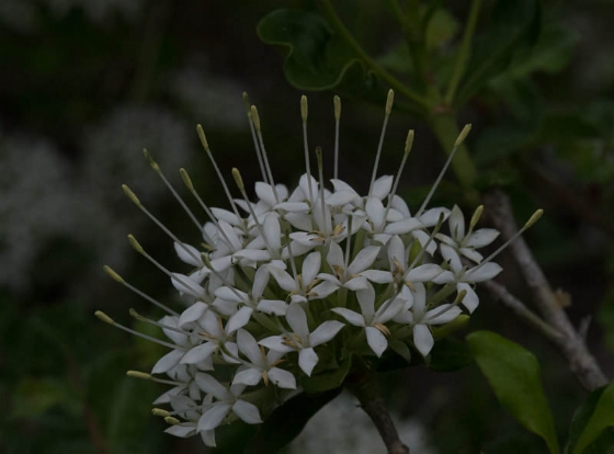 Sweet smelling Pavetta by Eileen Fletcher