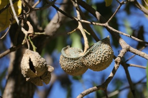 Tabernaemontana elegans (Toad tree) pods by Wendy Leppard