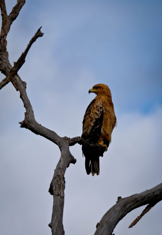 Tawny Eagle 2 by Dan B33