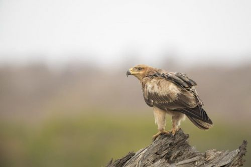 Tawny Eagle by Johann B38