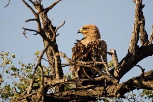 Tawny Eagle by Manuel Lopes