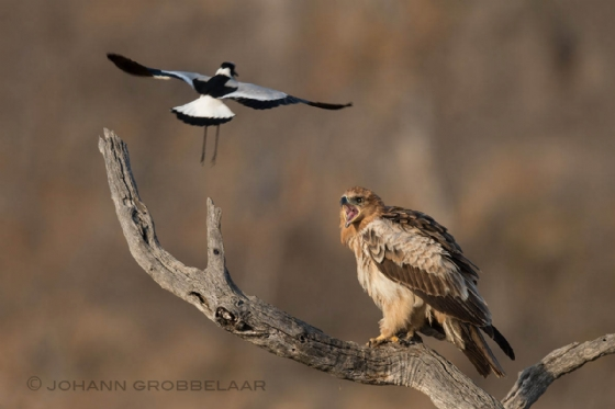 Tawny eagle being harassed by blacksmith plover Johann B38