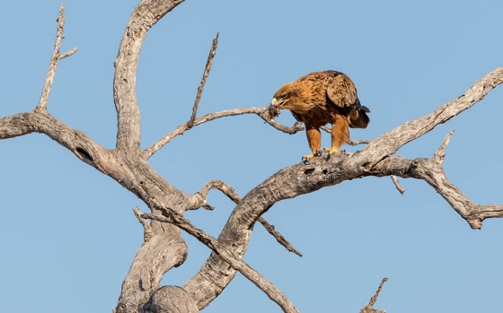 Tawny eagle by Uli A9