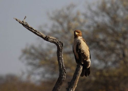 Tawny eagle rufous phase by Simon Leppard
