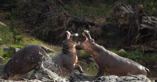 Territorial hippo bulls fighting by Manuel Lopes