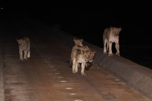 The 4 sub adults and lioness crossing North to South by Graham Benfield