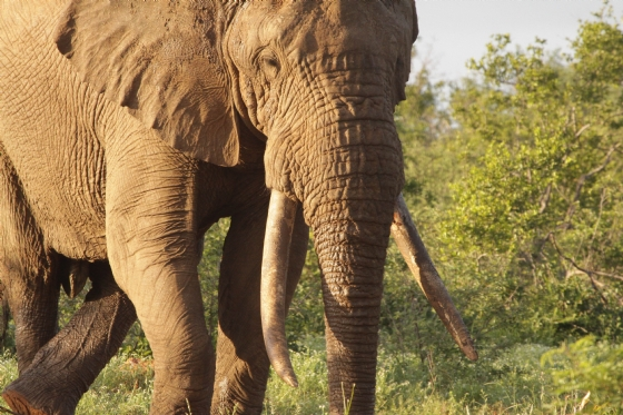 The Tusker by Graham B2