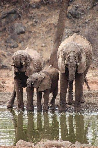 Thirsty Elephants by Kate B8