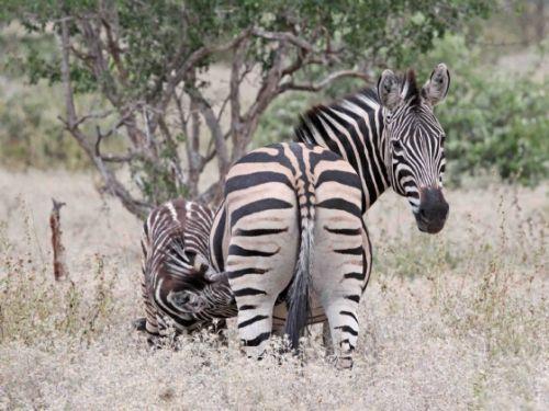 Thirsty Zebra by Nic Holzer