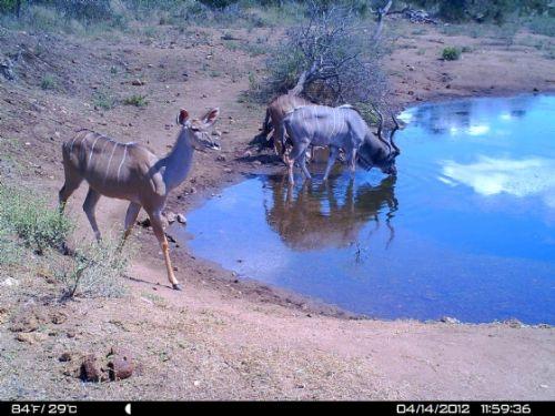 Thirsty kudu at Wildebeeste dam
