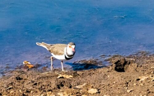 Three Banded plover by John B35