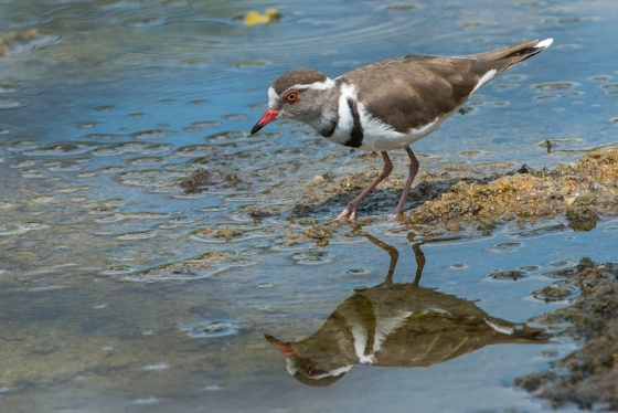 Threebanded Plover by Anne Hrabar