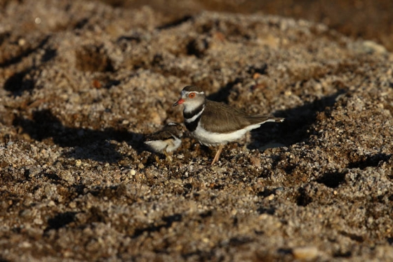 Threebanded plover and chick by Simon Leppard