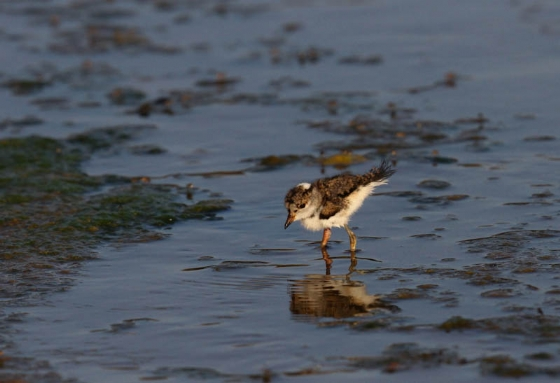 Threebanded plover chick by Simon Leppard