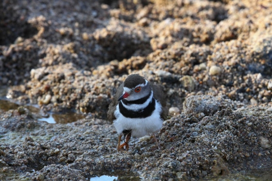Threebanded plover with chick under wing by Simon Leppard