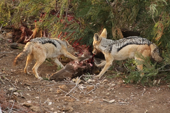 Two jackals on kill by Kenny B7