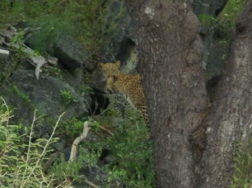 Two leopards by David Schaad