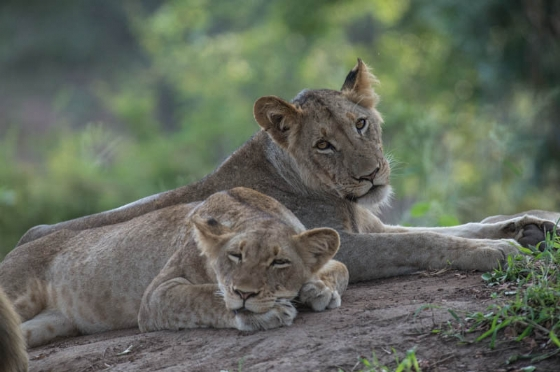 Two of the lions at Ndlovu dam by Eileen Fletcher