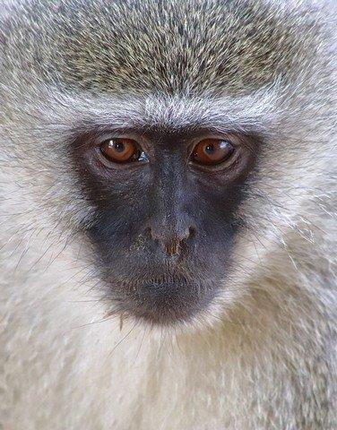 Vervet Portrait by Kate B8