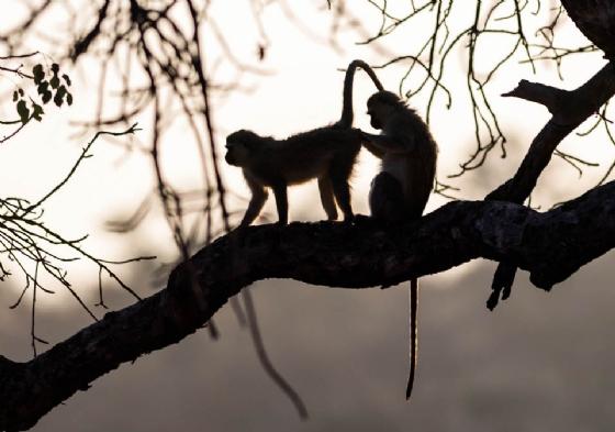 Vervet monkey by David A9