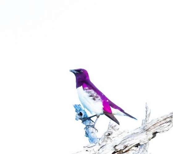 Violet backed starling by John F B35