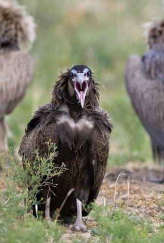 Vulture by Manuel Lopes