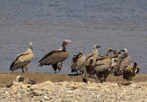 Vultures at river by Simon Leppard