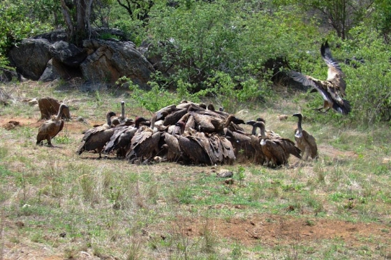 Vultures on dead lion 20 minutes later by Barry Ryan
